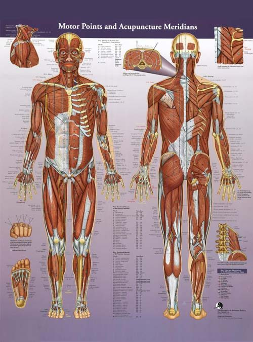 Sports Medicine Acupuncture Products: Motor Points and Acupuncture Meridians Wall Chart by AcuSport Education | SportsMedicineAcupuncture.com