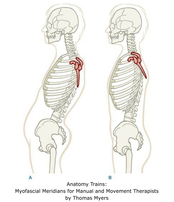 Anatomy Trains: Myofascial Meridians for Manual and Movement Therapists by Thomas Myers | SPORTSMEDICINEACUPUNCTURE.COM