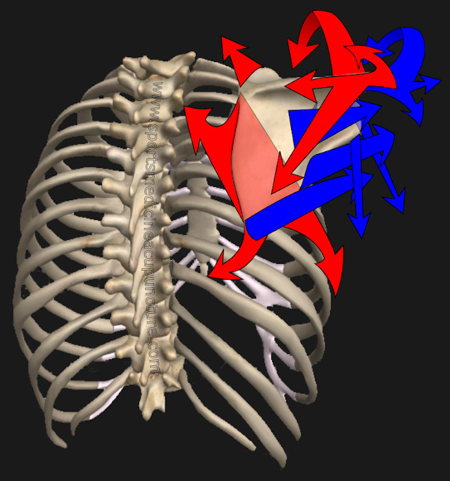 Pericardium and Lung Channel Sinew and Scapular Position | SPORTSMEDICINEACUPUNCTURE.COM