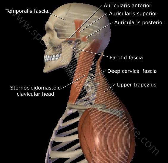 Fig 3. The Sternocleidomastoid Muscle & the Sinjao Sinew Channel | SPORTSMEDICINEACUPUNCTURE.COM